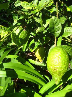 fruit at palm beach bible garden nsw