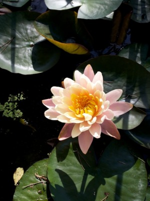 Water Lily in the Palm Beach Bible Garden
