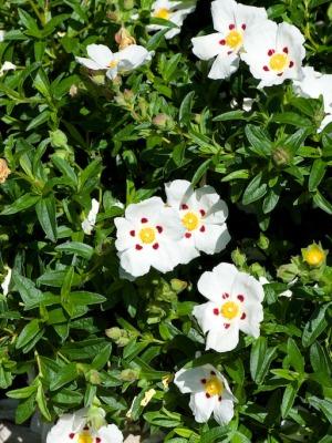 Rock rose in the Palm Beach Bible Garden