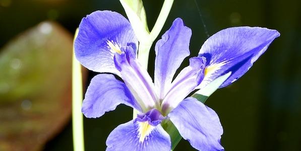 Iris sp in the Palm Beach Bible Garden