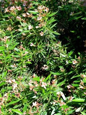 Oleander in the Palm Beach Bible Garden NSW