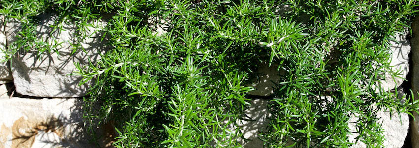 Rosemary in the Palm Beach Bible Garden NSW