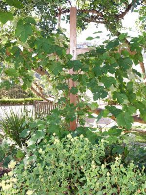 Grape Vine n the Palm Beach Bible Garden NSW