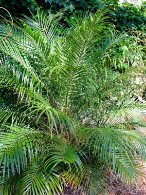 Date palm n the Palm Beach Bible Garden NSW