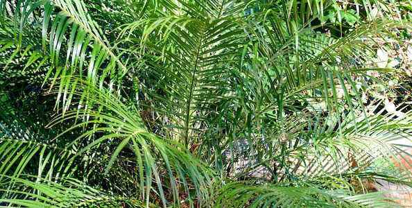Date palm n the Palm Beach Bible Garden NSW
